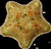 Echinodermata of the Mediterranean Sea