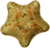 Echinodermata of the Mediterranean Sea